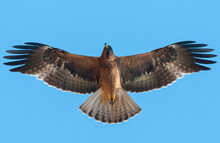Booted Eagle Flying On Blue Sk...