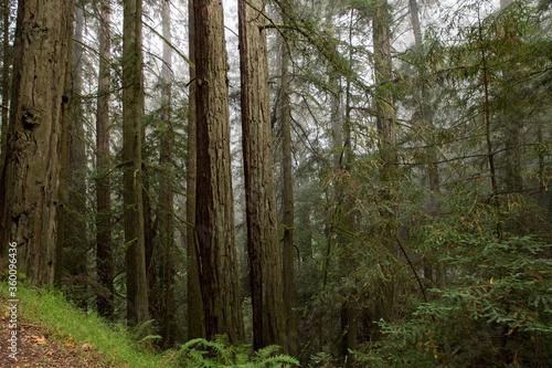 redwood forest in fog