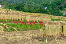 彼岸花と稲干しの畑