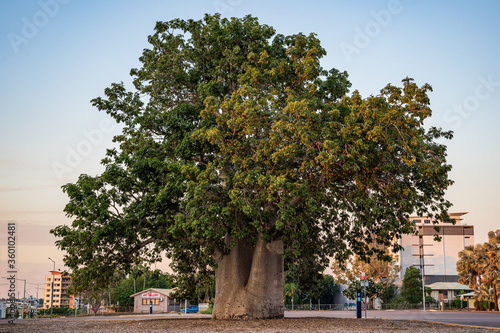 Photo Old historic boab tree in Cavenagh Street, Darwin City, Northern Territory, Australia