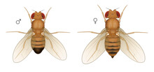 Drosophila Fruit Fly Insect. M...
