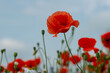 red poppy in the green grass on the plain