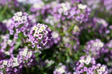 Purple And White Alyssum Flowers Close Up.