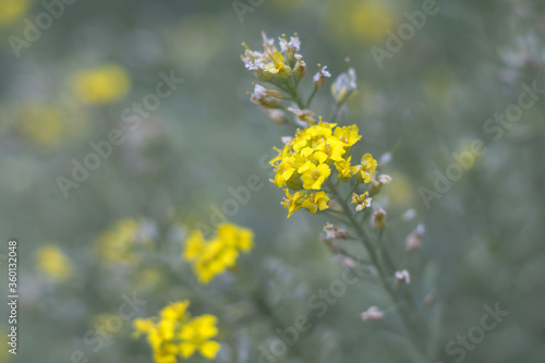 Fotografía Aurinia - yellow flowers in the spring garden, close up view