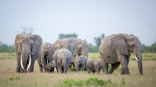 Beautiful Elephant Herd With A Large Female With Big Tusks And A Tiny Baby Elephant In The Group In Amboseli National Park Kenya