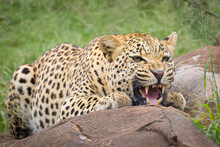 An Aggressive Male Leopard Snarling And Crouching Behind A Big Rock In Kruger Park South Africa
