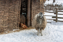 A Sheep With Long Hair Is Standing In A Winter Meadow Near A Crib On A Farm.