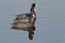 American Coot - A Group Of Thr...