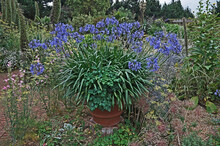A Large Display Of Agapanthus Praecox Orientalis Growing In A Container In A Coutry Garden