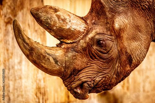 Fototapeta artistic portrait of a rhino obraz