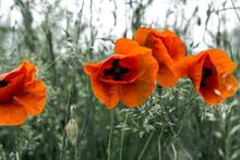 Poppies In A Rye Field
