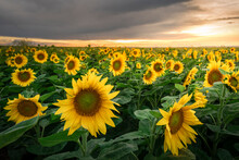 Sunflower Field At Beautiful Summer Sunset Sky. Agricultural Landscape