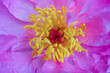 Leinwandbild Motiv Garden pink bud, macro photography, virginity, clit