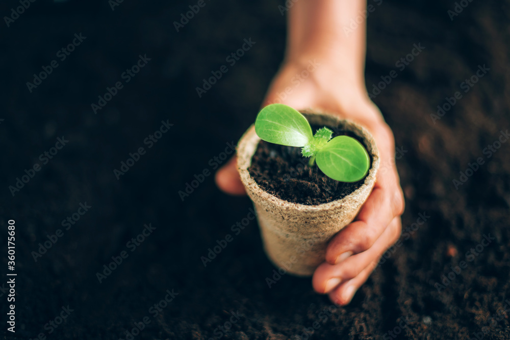 Fototapeta Agriculture, organic gardening, planting or ecology concept. Hand holding potted seedlings growing in biodegradable pots over soil background with copy space. Banner. Young sprouts. New life concept