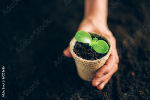 Fototapeta Agriculture, organic gardening, planting or ecology concept. Hand holding potted seedlings growing in biodegradable pots over soil background with copy space. Banner. Young sprouts. New life concept obraz