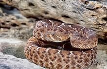Red Diamond Rattlesnake Portrait Close Up