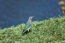 Groundscraper Thrush Bird On Grassy Riverbank (Psophocichla Litsitsirupa), Marble Hall, South Africa