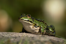 Green European Frog Sitting On A Stone Surface Looking To The Left With Head Lifted