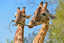 Closeup Of Two Giraffes (Giraf...