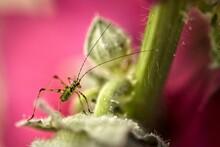 Baby Grasshopper In  A Pink Fl...