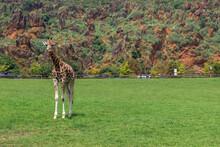 Giraffes In A Zoo Of Spain