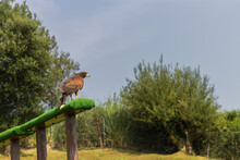 Eagle In A Zoo Of Spain