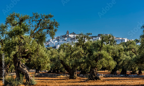 Canvas Print Olive trees with Ostuni, Puglia, Italy in the background