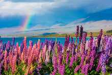 Scenic View Of Lupine Flowers ...