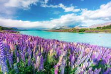 Lupins In Bloom By The Lake On...
