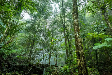 The lush, verdant rain forest in Springbrook National Park, Queensland, Australia