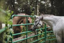 Two Quarter Horses Meeting Eac...