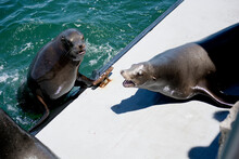 Sea Lions Fight For Real Estate