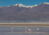 Flamingos in the Antofagasta Region in Chile