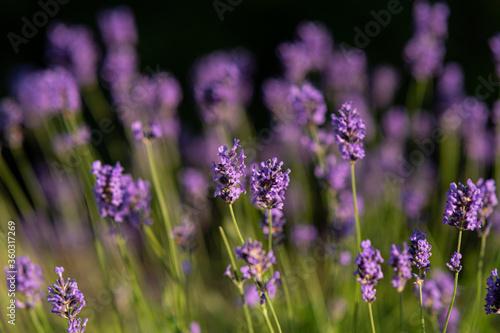 piękna fioletowa lawenda - 360317269