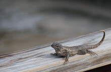 Curly-tailed Lizard On A Wood ...