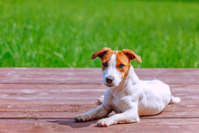 Dog Jack Russell Terrier Lies On A Wooden Terrace Against The Background Of Green Grass