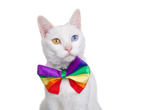 Portrait Of A White Khao Manee Cat With Heterochromia Wearing A Rainbow Colored Bow Tie Looking Slightly To Viewers Right, Isolated On White. Gay Pride Theme.