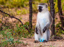 Vervet Monkey In South Africa In Kruger National Park