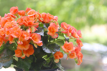 Begonia Flowers With Green Nat...