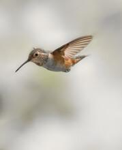 Rufous Hummingbird 1863
