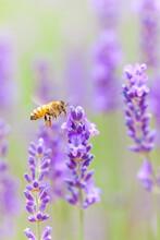 Flying Honeybee On Lavender Flower
