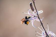 Close Up Of Bumble Bee Pollina...