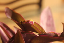 Close Up Of A Flowering Wandering Jew.