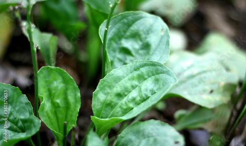Plantago major or broadleaf plantain plant grow in the garden. Slika na platnu