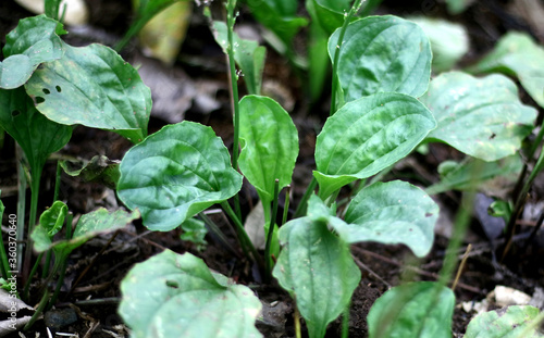 Plantago major or broadleaf plantain plant grow in the garden. Fototapet