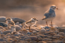 A Family Of Piping Plover (Cha...