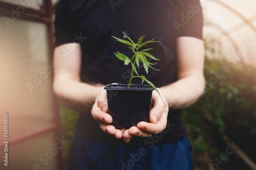 Farmer hands holds bump cannabis plant. Concept farm marijuana plantation