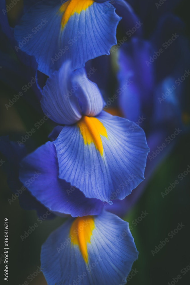Fototapeta beautiful blue iris flower close up macro shot shallow dof