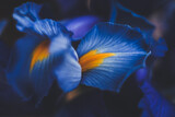 beautiful blue iris flower close up macro shot shallow dof