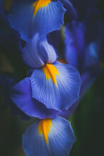 Beautiful Blue Iris Flower Clo...